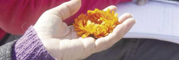 النباتات الطبية والعطرية.. خير أراضينا «المنسى» (ملف خاص) (فيتشر)