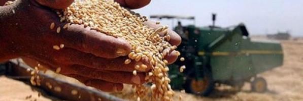 «التموين» تعلن بدء توريد القمح المحلي (خبر)