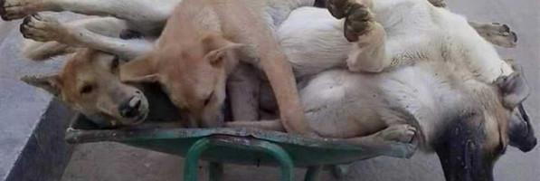 مشروع أهلى لتعقيم «كلاب الشوارع»: كلب ضال لكل ٦ مواطنين (ريبورتاج)