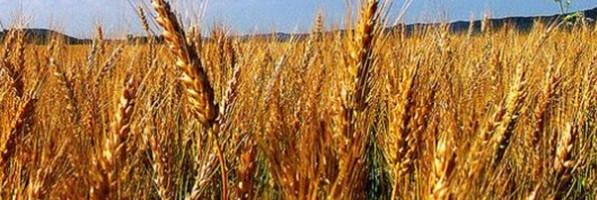 'السلع التموينية' تشتري 420 ألف طن من القمح الروماني والروسي